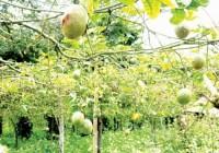 Nông dân lại điêu đứng với nông sản
