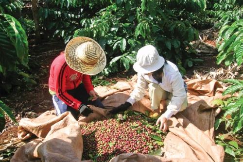 Cà phê Việt và mục tiêu 6 tỷ USD