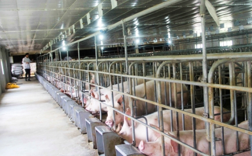 Tích cực bình ổn thị trường thịt heo