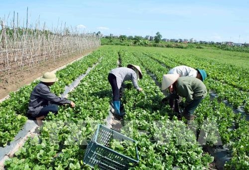 Tín dụng tiếp tục hỗ trợ nông nghiệp đô thị