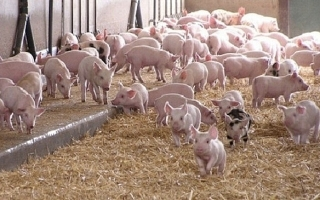 TP.HCM: Phối hợp ngân hàng hỗ trợ lãi vay cho người nuôi lợn tái đàn