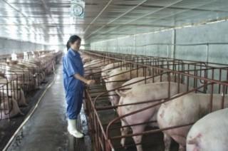 Ngành chăn nuôi lợn: Cần sản xuất theo tín hiệu thị trường