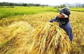 """Ngành nông nghiệp """"oằn mình"""" ứng phó với El Nino"""