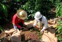 Chuyển biến cà phê chế biến trong nước