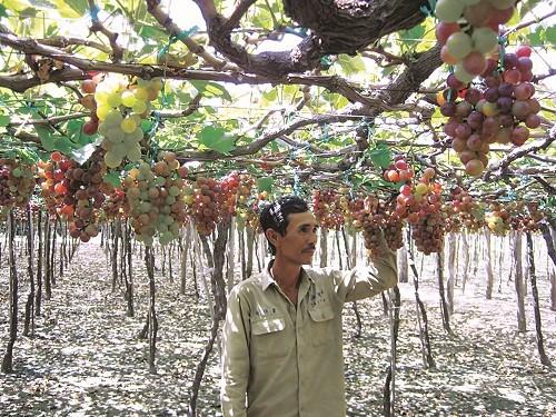 Người trồng nho Ninh Thuận lao đao