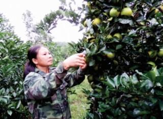 Hỗ trợ thị trường cho cam Vinh