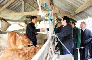 Chủ tịch nước tặng 50 con bò giống cho hộ nghèo tỉnh Hà Giang