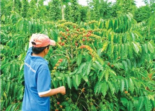 Tăng cạnh tranh cho cà phê Việt