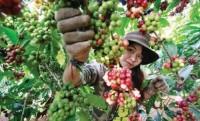 Xây dựng cà phê Việt chất lượng cao