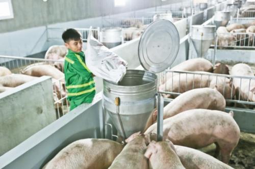 Ngành chăn nuôi Việt Nam: Liên kết chuỗi để mở lối xuất khẩu