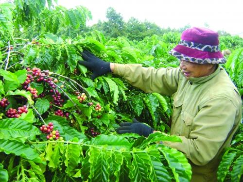 Tái canh cà phê: Nhìn từ bức tranh Lâm Đồng