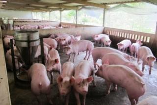 Giãn nợ vốn vay chăn nuôi chỉ là tình thế