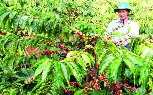 Cho vay tái canh cây cà phê: Ngân hàng không thiếu vốn, nhưng cần thêm cơ chế